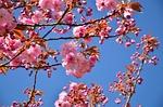 japanese flowering cherry, tree