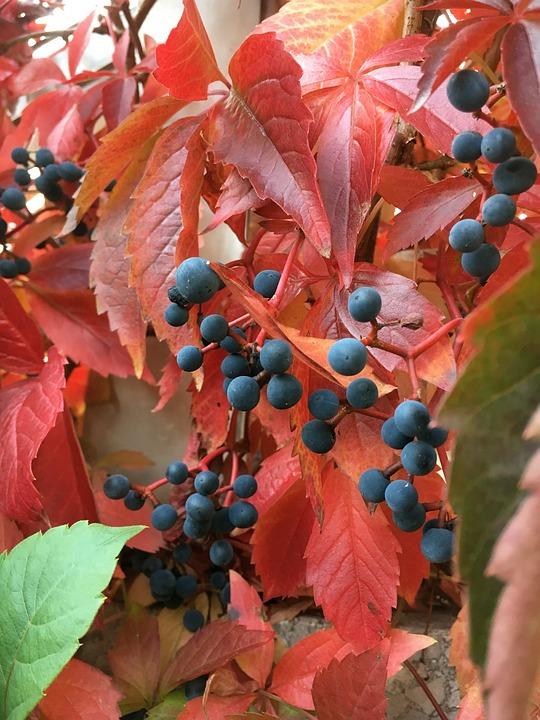 L'Automne, Feuilles De Vigne Rouge, Jardin, Feuille