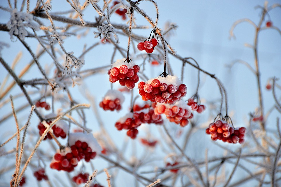 Viburnum, Red Berries, Fruit, Branches, Frost, Snow