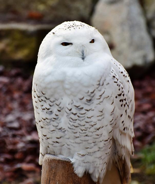Snowy Owl Plumage 183 Free Photo On Pixabay