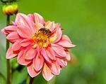 dahlia, flower, blossom