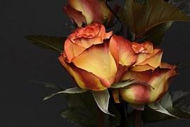 Rose, Flower, Petal, Floral, Noble