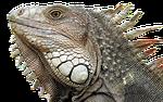 jaszczurka, gadów, dragon