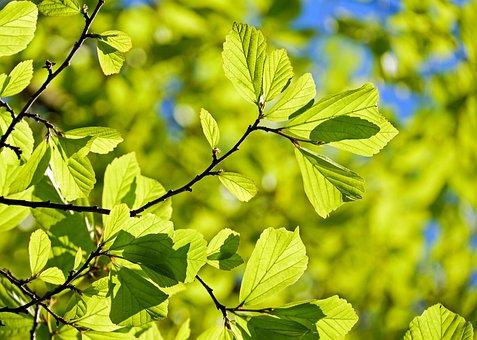 Oak, Tree, Deciduous Tree, Leaves