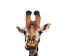 giraffe, head, isolated