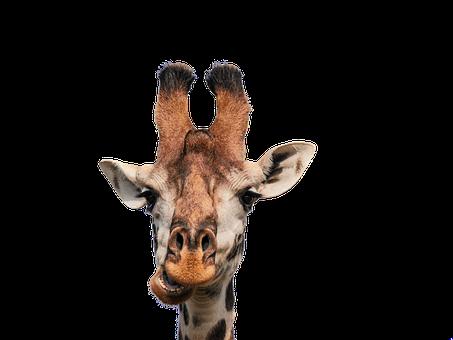 Exposure to randomness to become antifragile as a giraffe