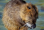 nutria, rodent, water rat