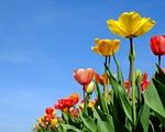 tulips, flowers, bloom