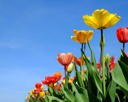 Tulips, Flowers, Bloom, Colorful