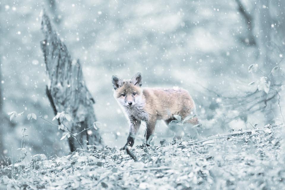 Fuchs Wald Saugetier Kostenloses Foto Auf Pixabay