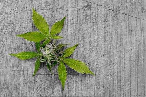 Leaf, Nature, Flora, Cannabis