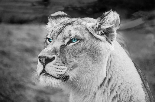 white lion images pixabay download free pictures