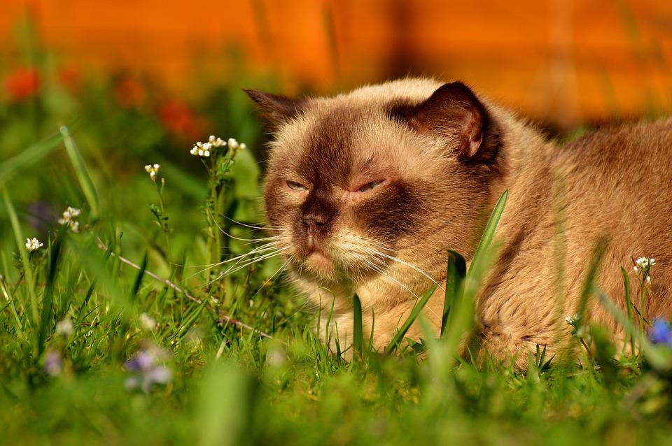 fe99e7a9224a Βρετανική Κοντότριχη Γάτα - Δωρεάν φωτογραφία στο Pixabay