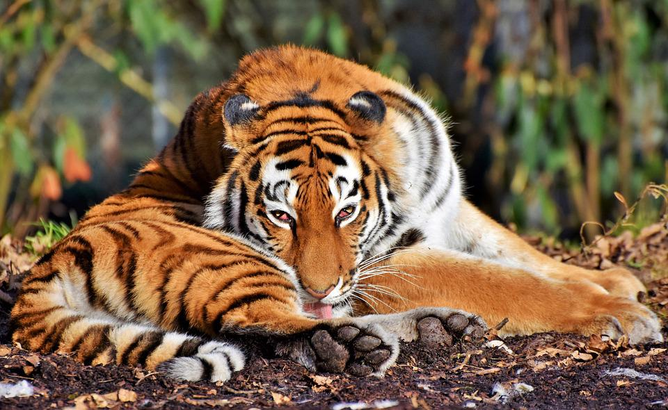 Tiger Free pictures on Pixabay