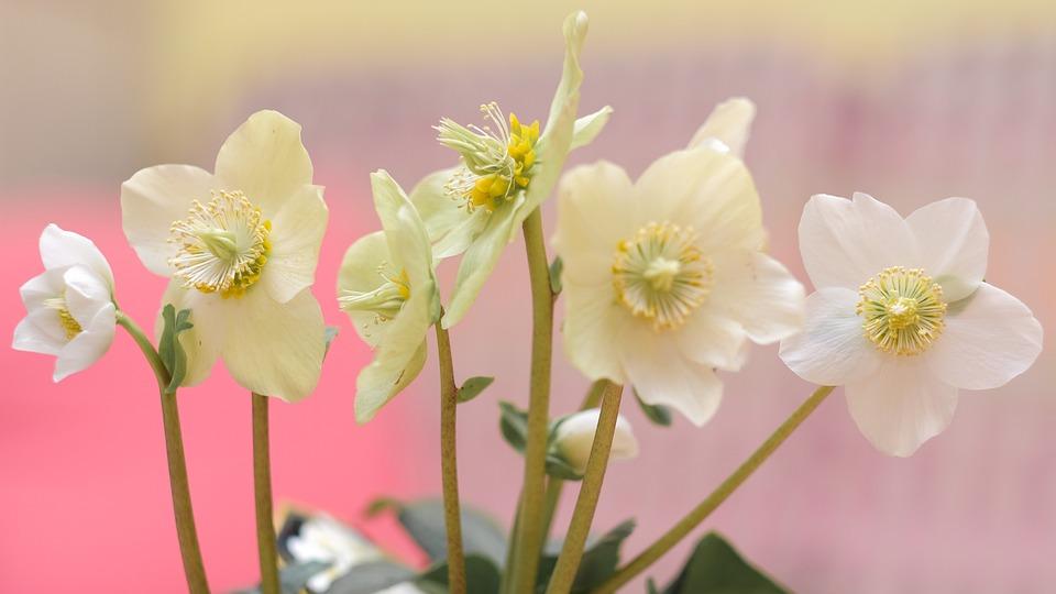 Rose De Noel Blanche Fleur Photo Gratuite Sur Pixabay