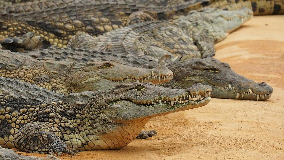 Nature, Crocodile, Crocodile Du Nil, Reptile, Zoo