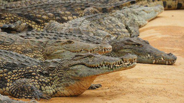 Nature, Crocodile, Nile Crocodile