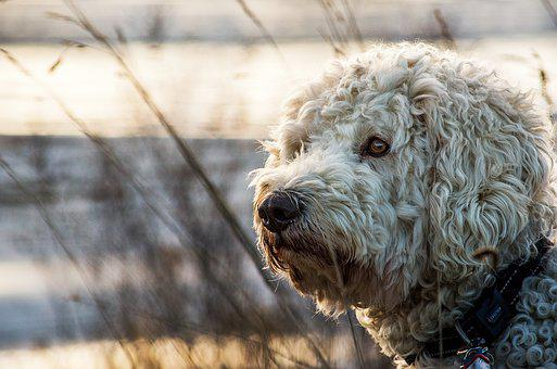 Goldendoodle, Hybrid, Animal, Nature
