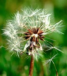 dandelion, nature, seed