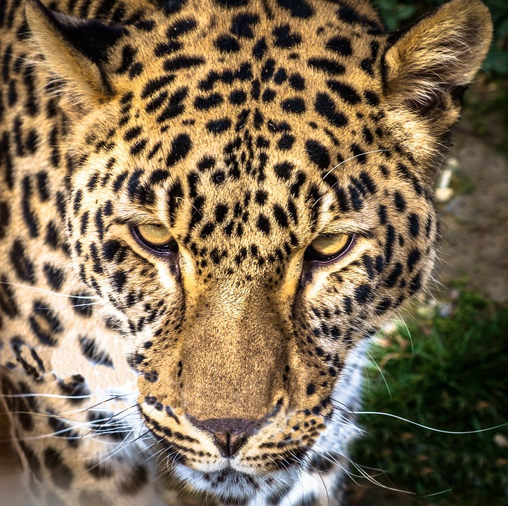 Leopard Panther Feline · Free photo on Pixabay | 723 x 720 jpeg 247kB