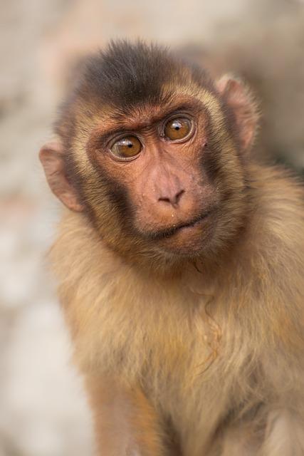 Macaque Monkey Primary 183 Free Photo On Pixabay