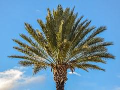 image vectorielle gratuite palmier noix de coco palm arbre image gratuite sur pixabay 155730. Black Bedroom Furniture Sets. Home Design Ideas