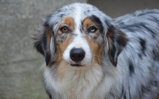 Image result for 犬  Australian Shepherd 美しい外観