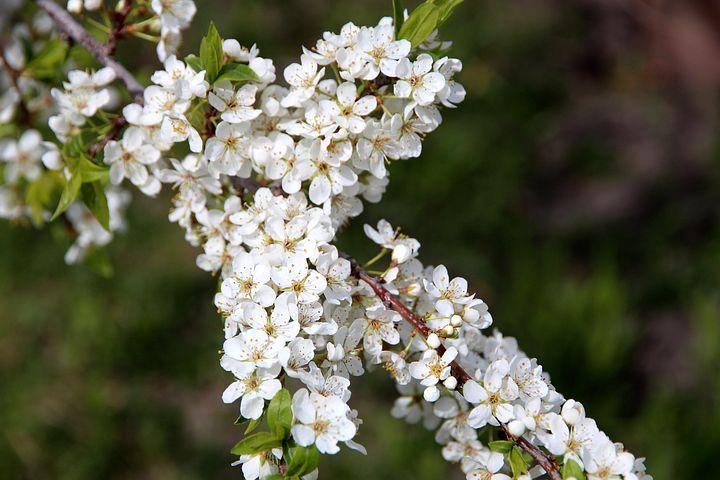 группа картинки бурятия цветение черемухи природного камня