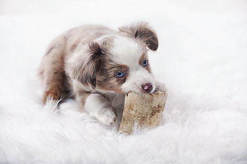 Australian Shepherd Puppies For Sale in Michigan