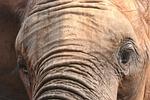 elephant, mammal, nature