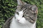 cat, portrait, animal