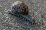 snail, slow, shellfish