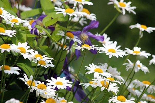 Μαργαρίτες, Λουλούδια, Φύση, Φυτό