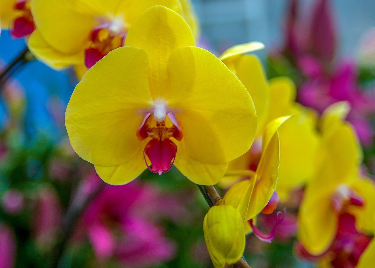 Красивое фото желтых орхидей