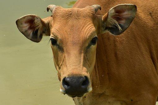 Más De 400 Imágenes Gratis De Cabeza De Vaca Y Vaca Pixabay