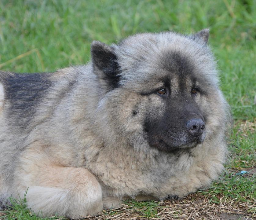Hund Eurasier Hündin - Kostenloses Foto auf Pixabay