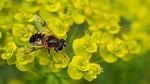 bee, bumble-bee, sedum