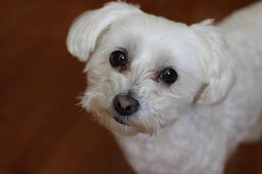 Dog, Cute, Pet, Mammal, Canine, Bichon