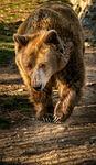 bear, brown bear, animal