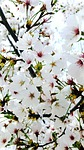 flowers, cherry tree, quarter