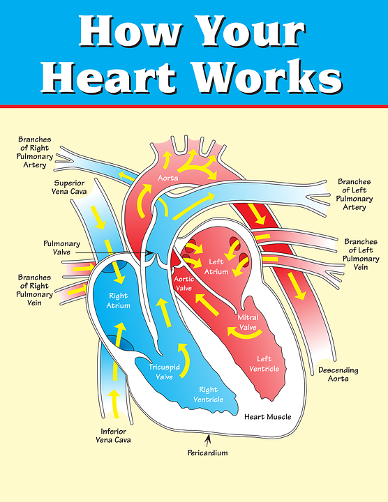 Vertical Heart Inner Structure · Free vector graphic on Pixabay
