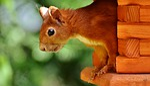 squirrel, cute, animal