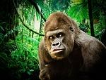 gorilla, ape