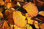leaf, foliage, autumn leaf