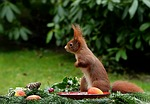 animal, squirrel
