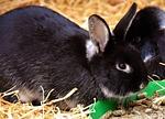 rabbit, food