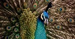 peacock, beautiful, colorful