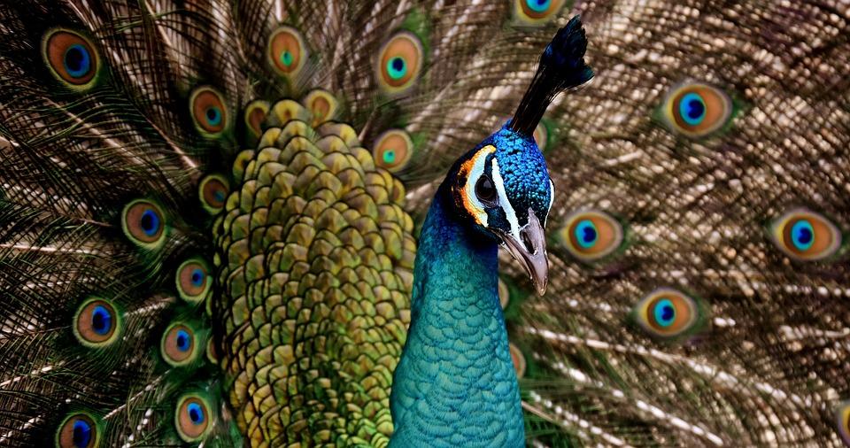 طاووس مزهل جدا ذات الوان خلابة