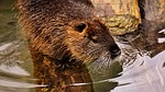 nutria, water rat, water