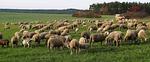 sheep, flock